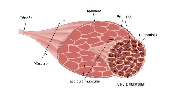 Composición de los músculos