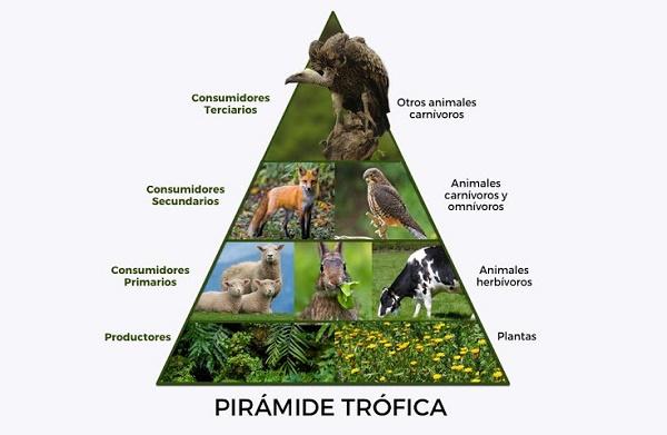 Pirámide trófica, cadena alimenticia, consumidores, depredadores, productores, descomponedores, autótrofos, heterótrofos, productores